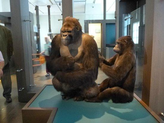 Museo de Ciencias Naturales: Museu de Ciências Naturais - Gorilas empalhados