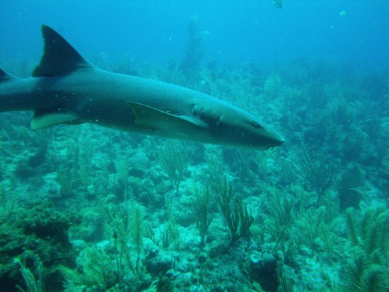Scuba Sensations: Tons of Nurse Sharks!