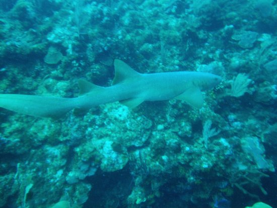 Scuba Sensations: Nurse shark
