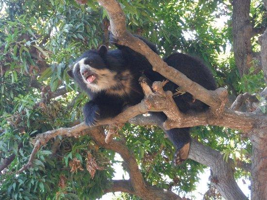 Chaparri Reserve : oso de anteojos hembra en el arbol