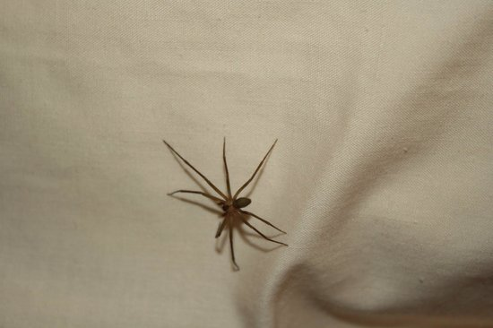 Sofitel Taba Heights : one of the spiders in the luxury room