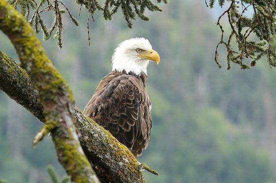 Kachemak Bay Wilderness Lodge: Eagle near the lodge, by lodge guest Adam Buchsbaum