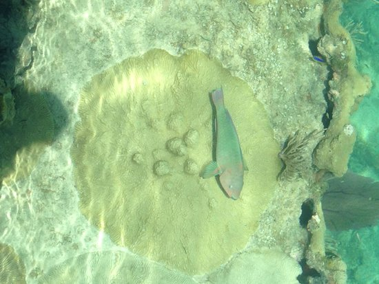 Fort Jefferson: parrot fish