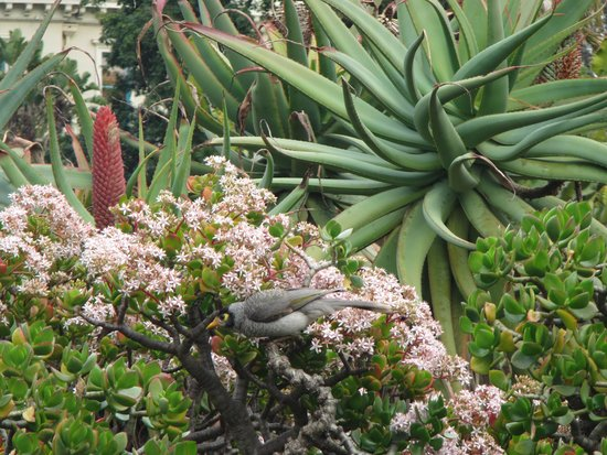 Royal Botanic Gardens : Noisy Miner bird eating nectar from flowers in the Succulent garden