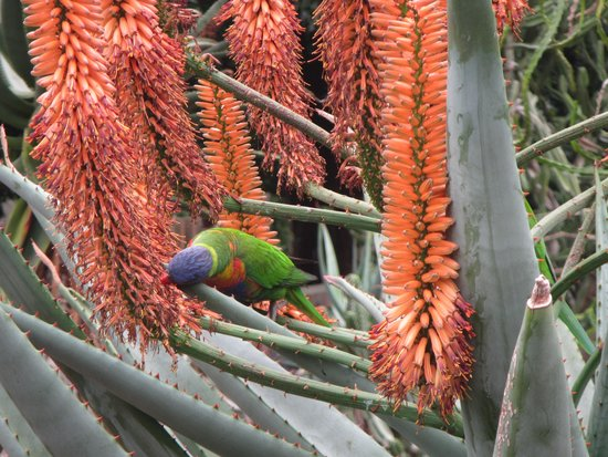 Royal Botanic Gardens : Rainbow Lorikeet eeting nectar from flowers in the Succulent garden
