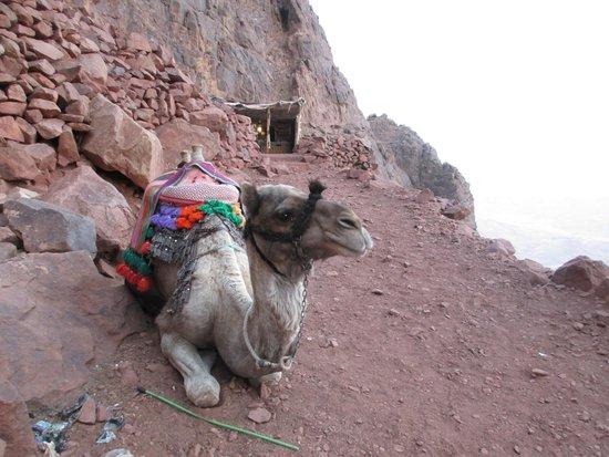 Mount Sinai: Camel