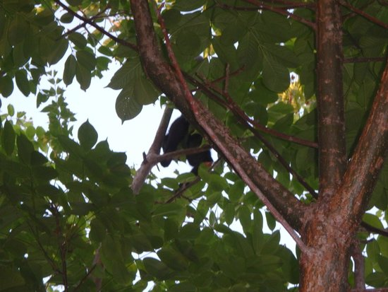 Lodge Las Ranas: Howler monkey. We saw moms with babies. Adorable!!