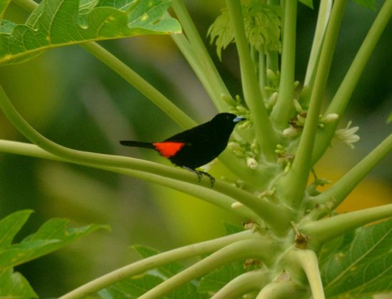 Saladero Eco Lodge: Cherry Tanager