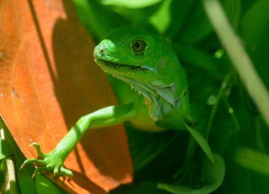 Saladero Eco Lodge: iguana