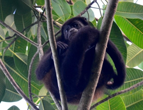 Saladero Eco Lodge: howler monkey