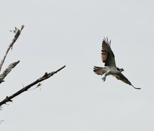 Saladero Eco Lodge: Osprey