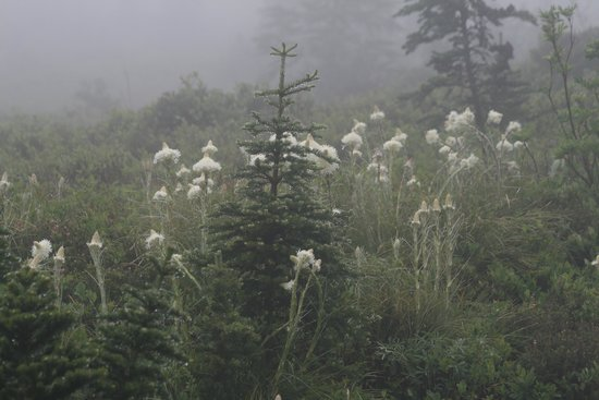 Skyline Trail : Bear grass in the mist