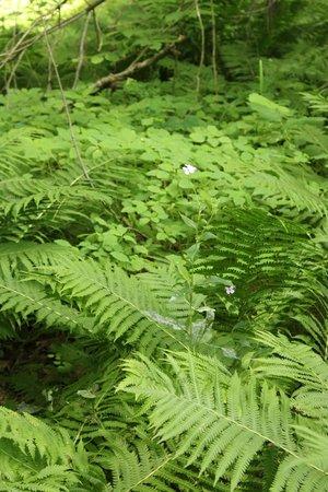 Quechee Gorge: Lush ferns along the trail