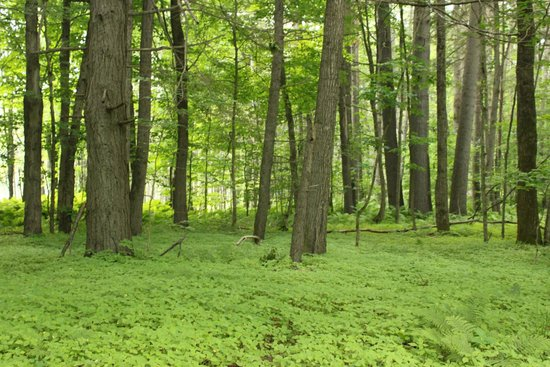 Quechee Gorge: Peaceful green summer woods along the trail