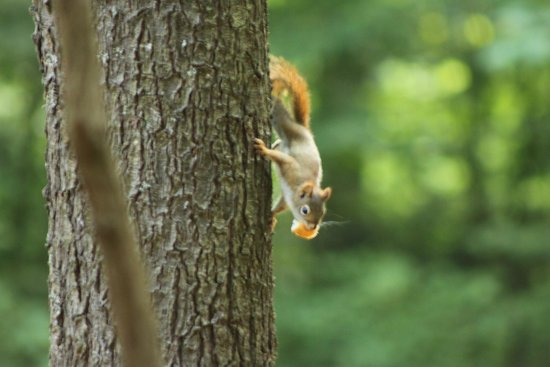 Quechee Gorge: Red squirrel at the state park