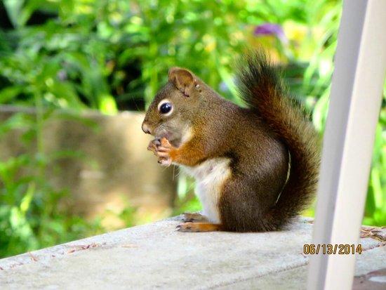 Black Bear Inn : Red Squirrel