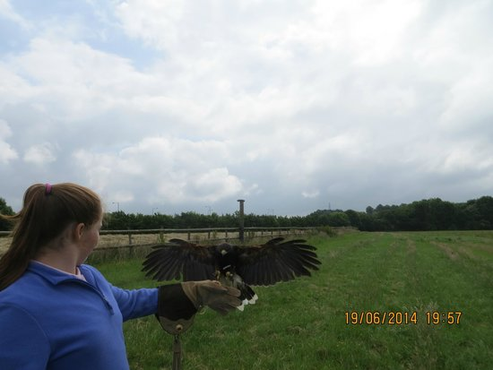 Vale Royal Falconry Centre: Harris Hawk