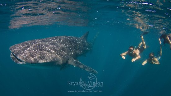 The first whale shark we swam with - Picture of Kings Ningaloo Reef ... Whale Shark Size