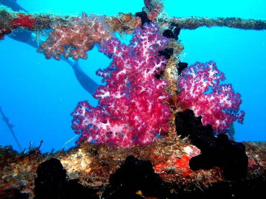 SPAD: South Pacific Adventure Divers : Beautiful Coral