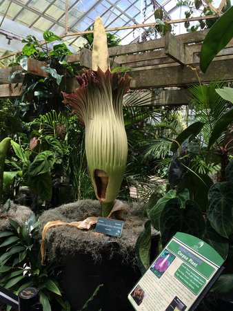 Marie Selby Botanical Gardens : Blooms once every few years, the Corpse Flower