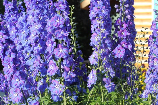 delphiniums at PIke's Waterfront Lodge
