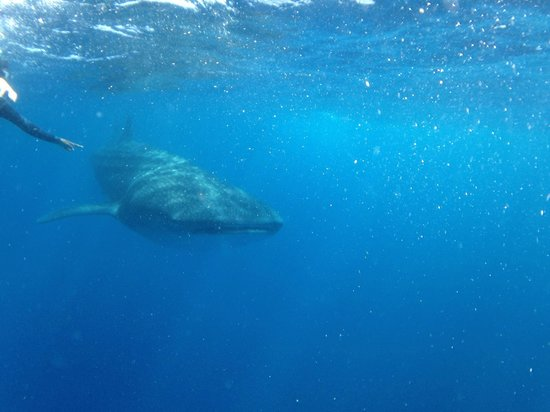 Isla Mujeres Whale Shark Tours by Searious Diving: Take with an iPhone 5c in a water proof case