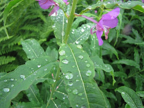 Alaska Veterans Memorial: Fire weeds in rain