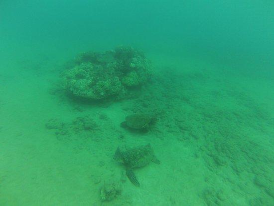 Hawaiian Paddle Sports: A gaggle of sea turtles?