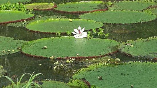 Muyuna Amazon Lodge : planta flotante mas grande del mundo