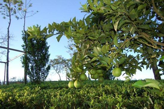 Dream Catcher Plantation Resort : Orange in the Plantation