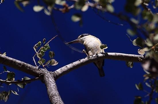 Lakeside Resort Kununurra : Kingfisher at Lakeside
