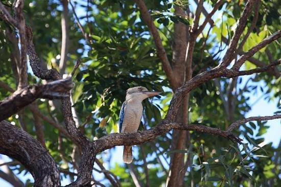 Lakeside Resort Kununurra : Kookaburra at Lakeside