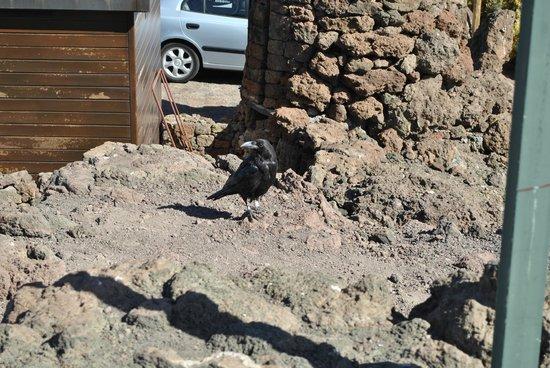 Roque de Los Muchachos: un cuervo en roque los muchachos