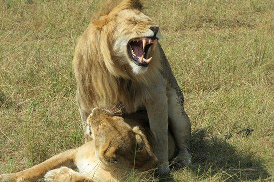 Leleshwa Camp : lions