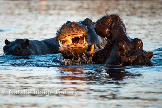 Pangolin Photo Safaris - Day Tours : Those pesky hippos finally doing something