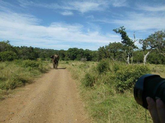 Hilltop Camp: Kudde olifanten steekt over voor de safariwagen, april 2014