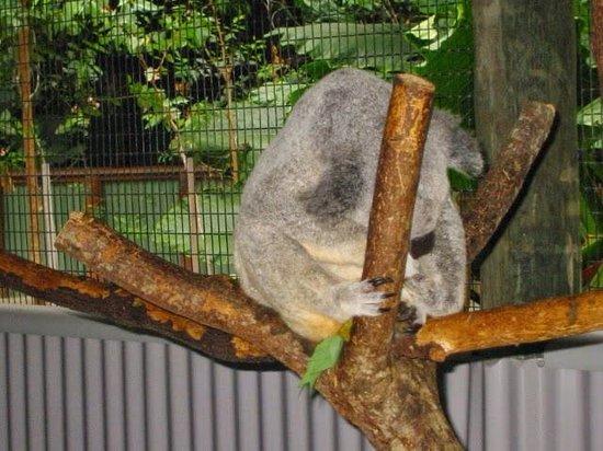 Kuranda Koala Gardens: 眠いってば、、