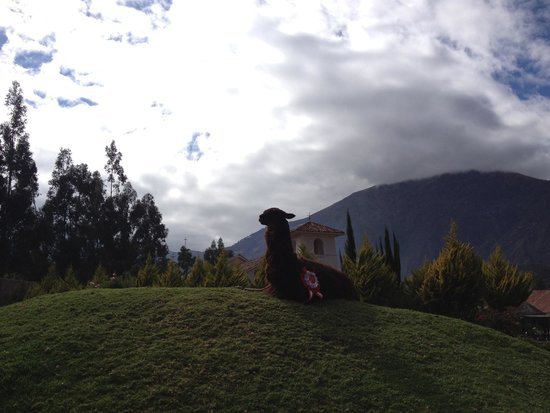 Aranwa Sacred Valley Hotel & Wellness: Llama on the grounds.
