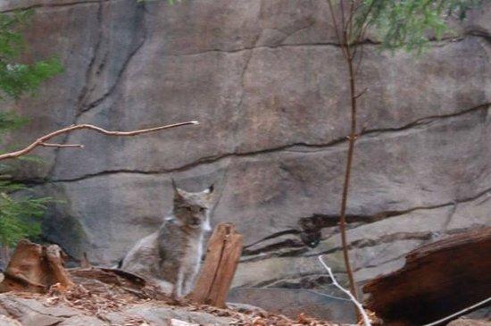 Biodôme de Montréal : Biodome - lynx