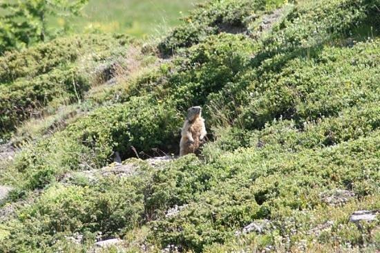 Le Chal'Heureux : des marmottes a deux pas du chalet