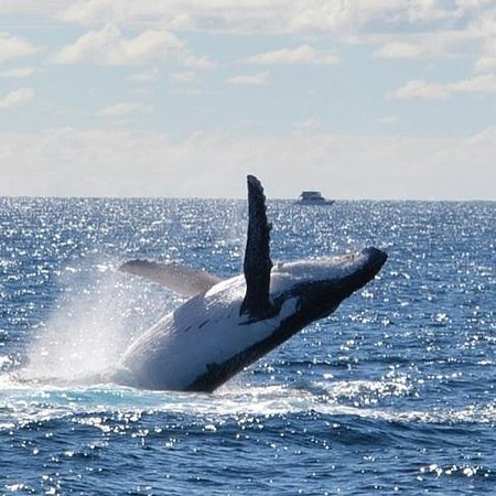 Spirit of Gold Coast Whale Watching: Humpback breaching