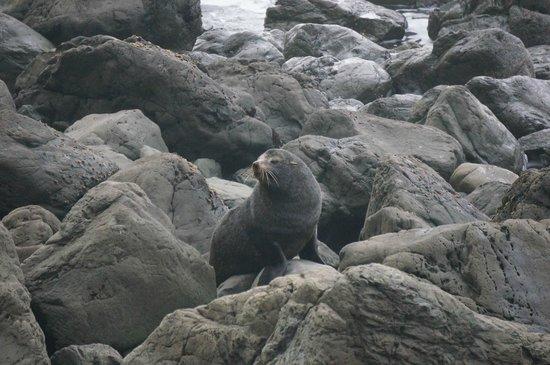 Colonia de focas: seal