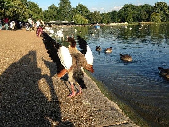 Hyde Park: Пруд Serpentine