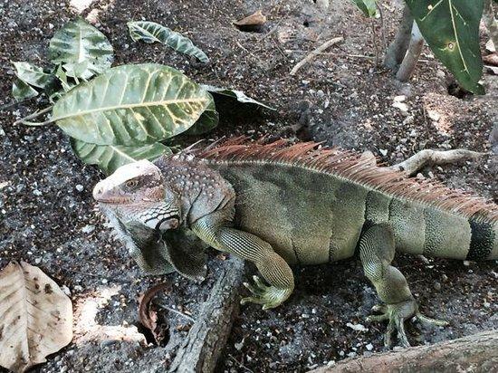 Hotel & Club Punta Leona: Another boss iguana!