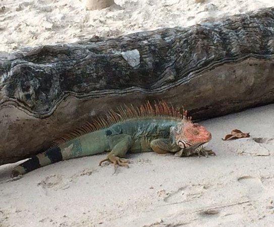Hotel & Club Punta Leona: Some amazing iguanas!