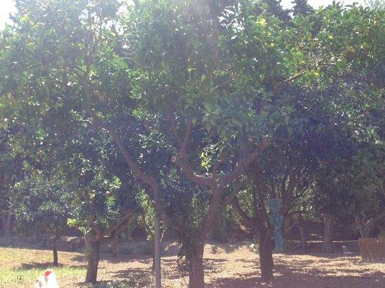 "Olive Grove Estate ""Eleas Gi"": Lemon, lime, orange and mandarin trees."