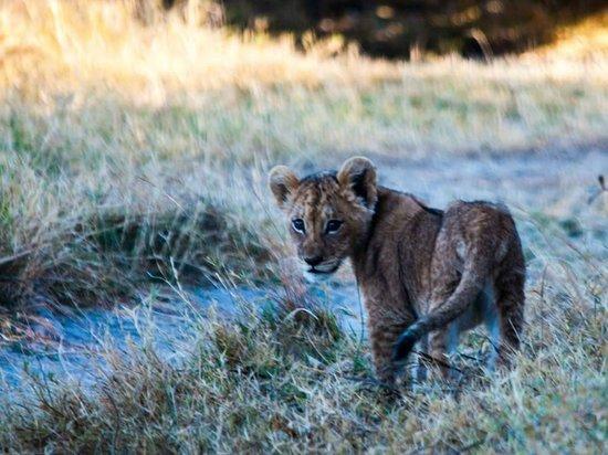 Belmond Khwai River Lodge : Cubs in Moremi Park