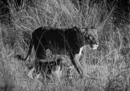 Belmond Khwai River Lodge : Lioness and cubs
