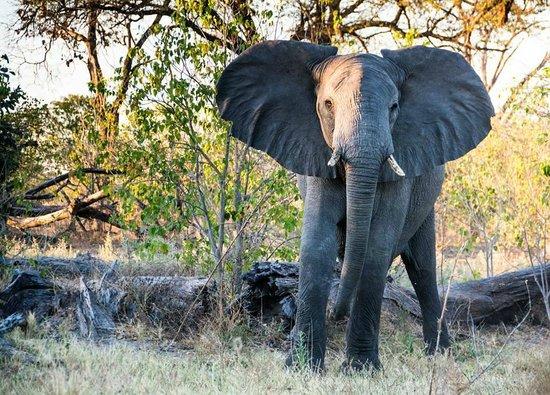 Belmond Khwai River Lodge : Elephant in Khwai grounds