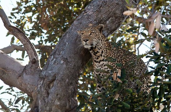 Belmond Khwai River Lodge: Leopard in Moremi Park